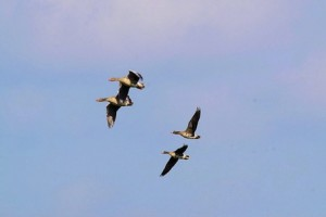 wild-geese-278992_640