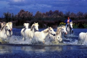 in camargue